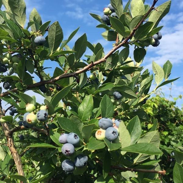 Michigan blueberry bush in bloom