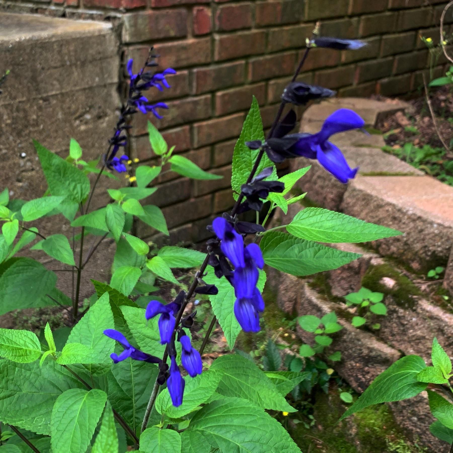 A blooming Black & Blue flower in a garden