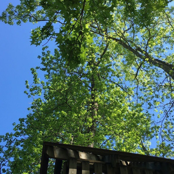 Looking through a canopy of trees to the clear blue sky from the top of a treehouse