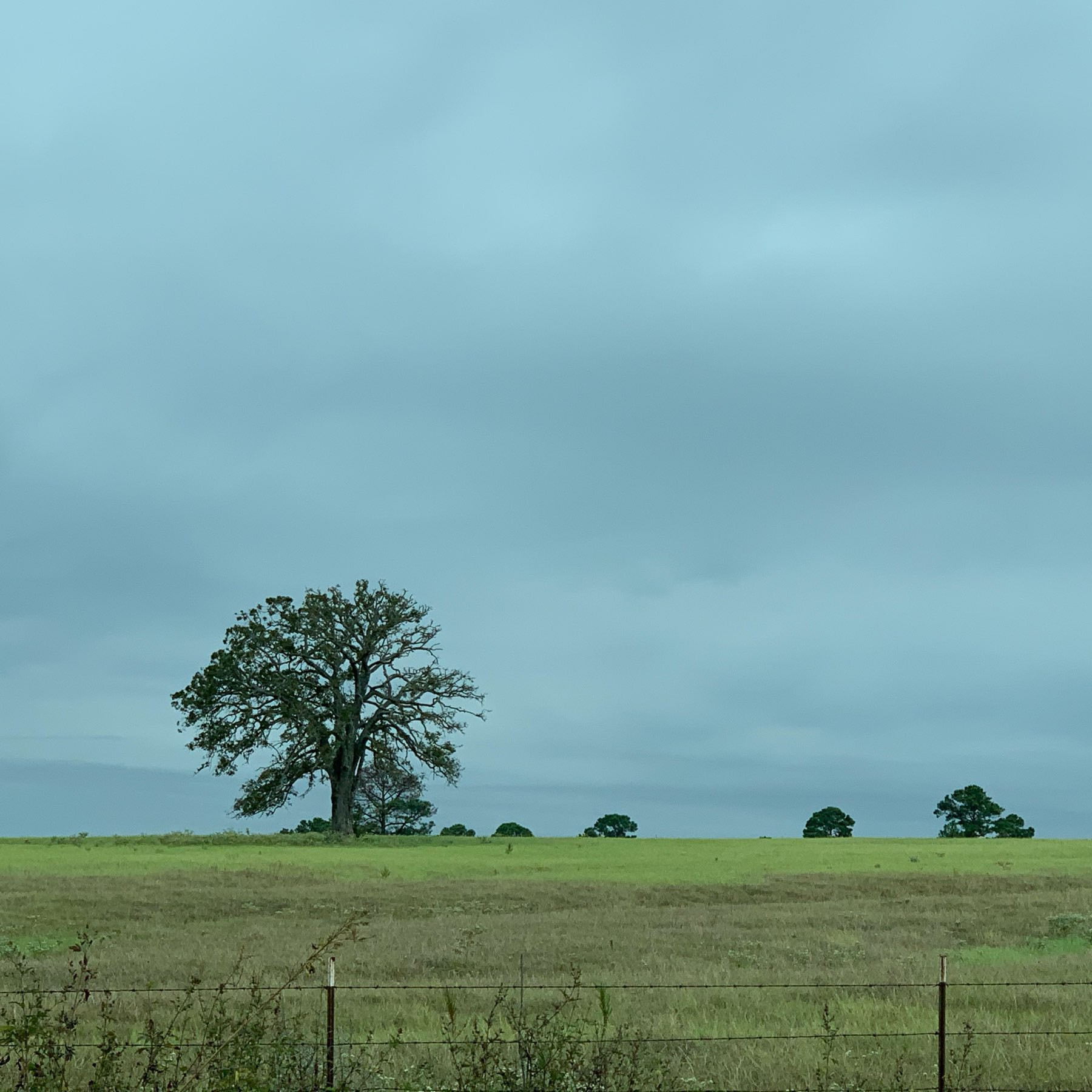 Dead tree stands in an open cow pasture against a grey sky.