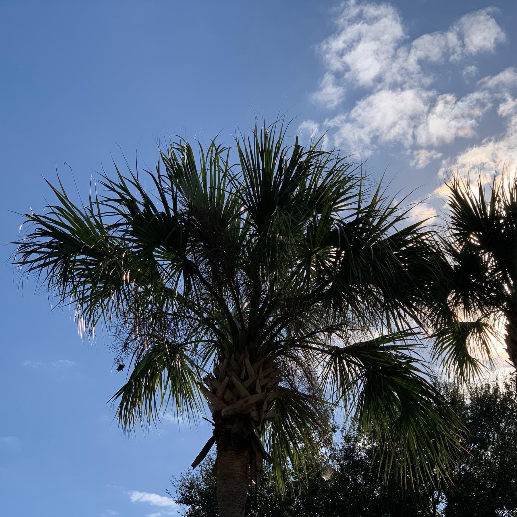 Palm tree, blue sky